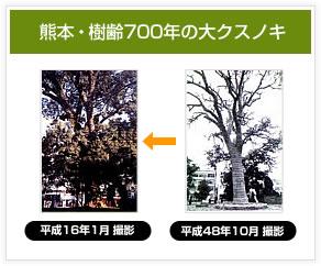 熊本・樹齢700年の大クスノキ